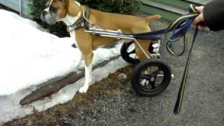 Can dogs urinate in a dog wheelchair?