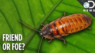 Roache fact sheets Cock