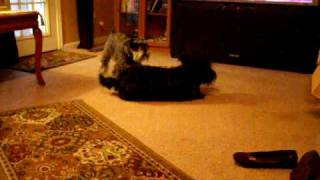 Scottish Terrier And Miniature Schnauzer Playing