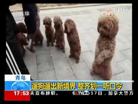 These puppies in Qingdao China are really well trained