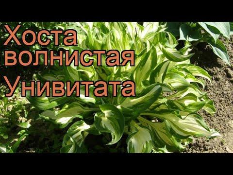 Хоста волнистая Унивитата (univittata) 🌿 обзор: как сажать, рассада, саженцы хосты Унивитата