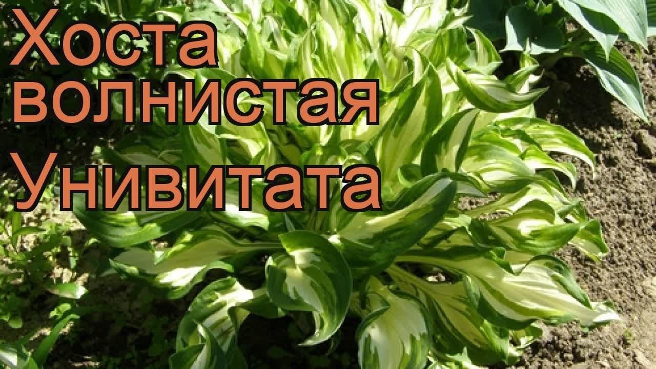 Хоста растение широко используемое в садоводстве и ландшафтном дизайне. Хосты купить почтой вы можете в нашем интернет магазине.