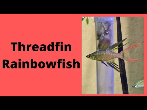 Threadfin Rainbowfish Care Guide