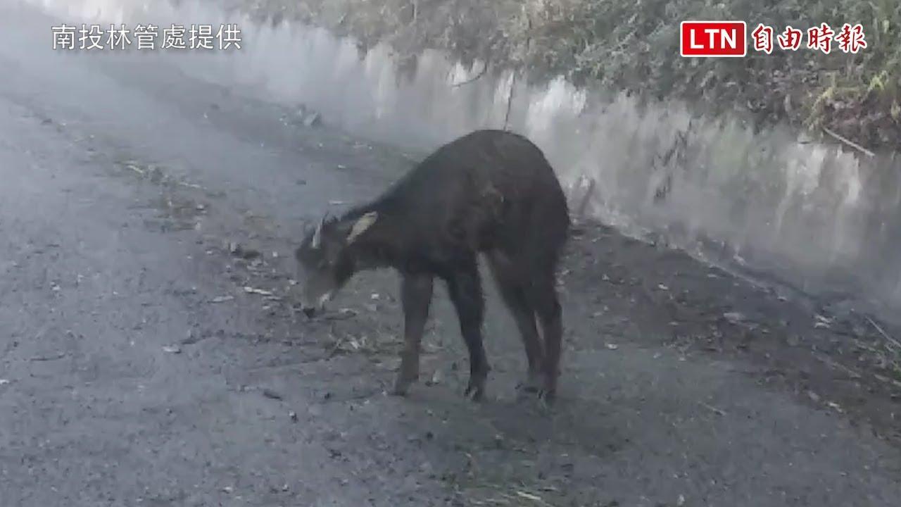長鬃山羊疑摔跤羊角斷裂 南投林管處上演搶救野山羊大作戰(南投林管處提供)