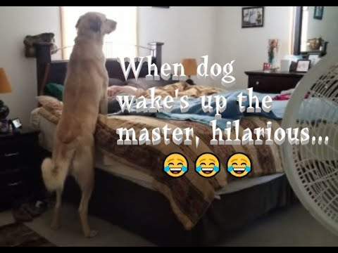 ANATOLIAN SHEPHERD (SUGAR PLUM) - WAKING UP THEIR OWNER FUNNY VIDEO