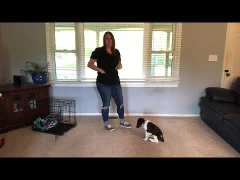 Blake  1 week of training  9 week old Springer Spaniel