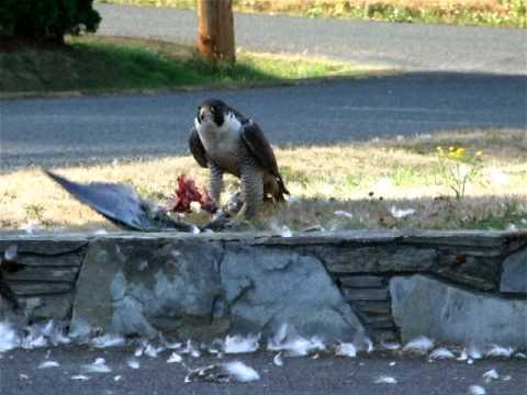 peregrine falcon eating a bird youtube. Black Bedroom Furniture Sets. Home Design Ideas