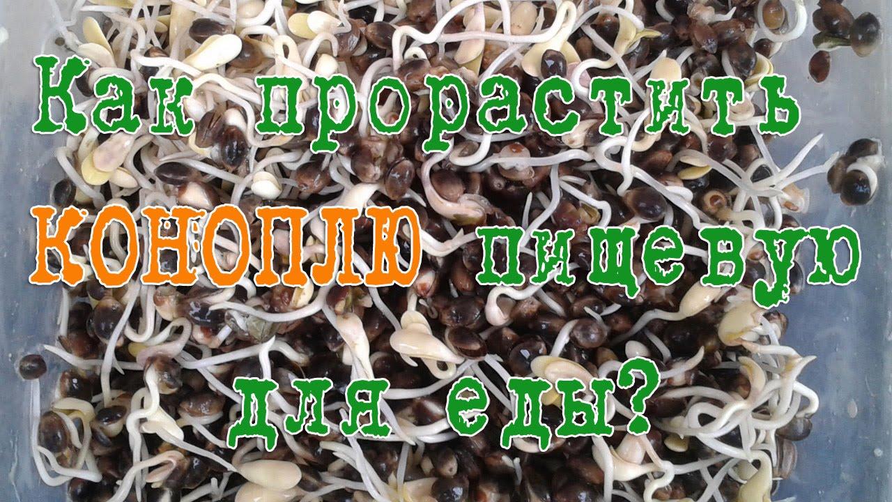Как прорастить семя конопли пищевой?