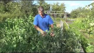 Как правильно нужно сеять горох и бобовые культуры как сидерат?