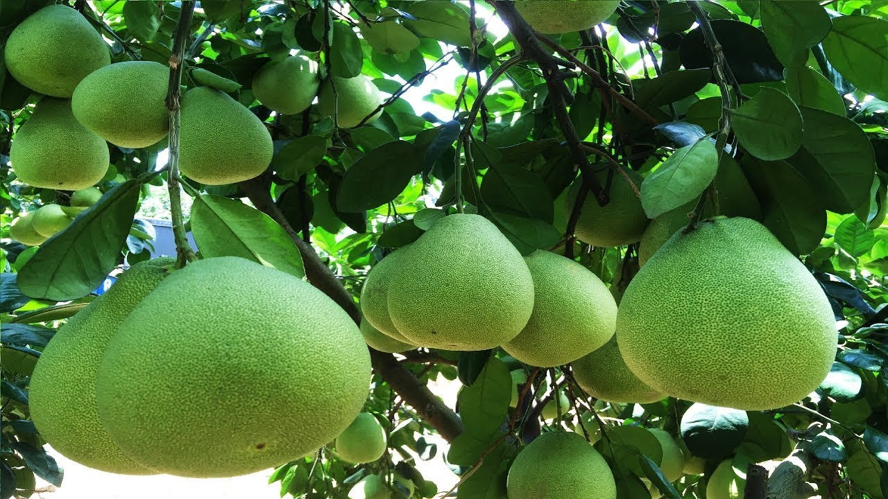 Awesome Pomelo Harvest - Pomelo Farm in Asia - Pomelo Cultivation Technology