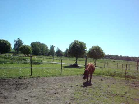 Caspian Horse free jump.... She is out of the Iranian foundation mare Pari *