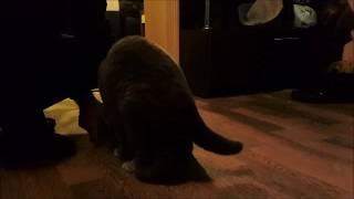 Часть1. Вязка котов шотландской породы.