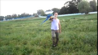 Свободные полёты. Ара сине жёлтый. Питомник Аmаzona