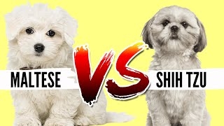 Maltese VS Shih Tzu Which Breed is Best For You