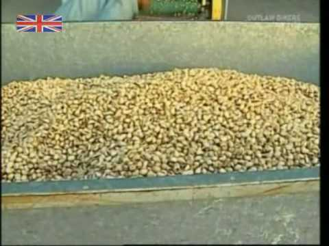 How Pistachio Nuts Are Harvested and Processed