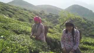 Hand-picking tea leaves in Darjeeling