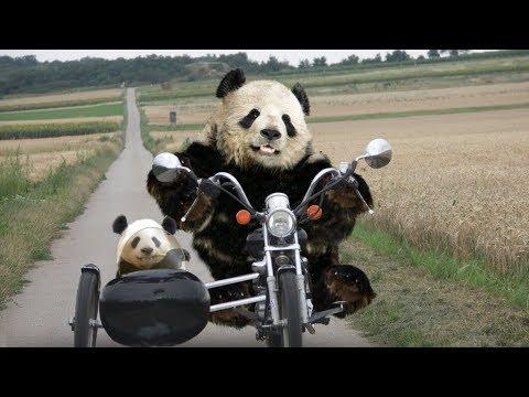 ۱۰+۴ نکته بسیار جالب درباره خرس های پاندا  Top 10 Farsi