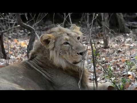 Vlog # 18  The Lion King | Gir National Park | Sasan Gir | Part 1  | VJS Vlogs