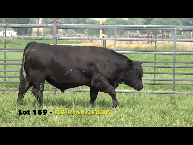 Black Gold Bull Sale Lot 159