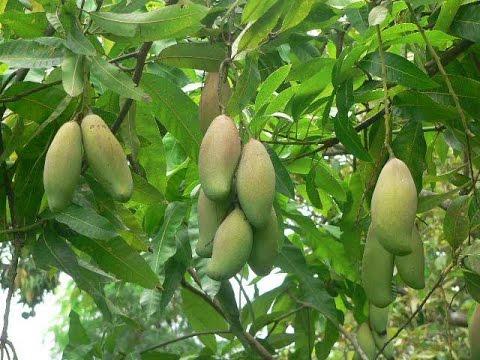 How to grow a mango tree     साधारण आम को सुपर फलदार पौधा बनाना     Mango  tree treatment