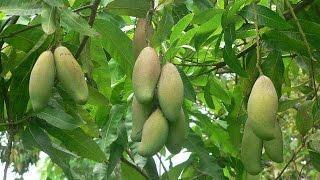 136_How to grow a mango tree ||| साधारण आम को सुपर फलदार पौधा बनाना ||| Mango tree treatment