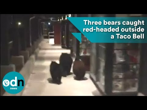 Three bears caught red-headed outside a Taco Bell