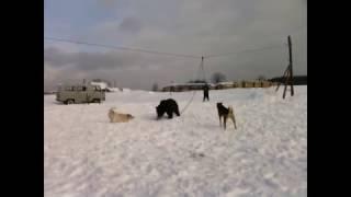Лайка. Знакомство с медведем