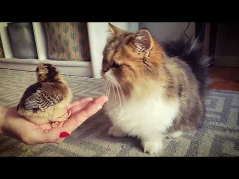 Munchkin Cat Playing with Baby Chickens!