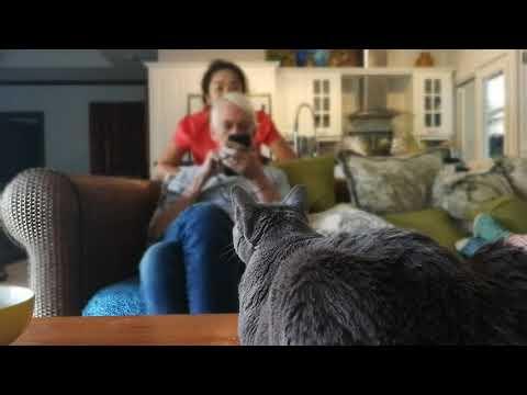 จะเอ๋แมวแบบหนังอินเดียภาระตะ Peekaboo a Korat Cat like in Ballywood movie