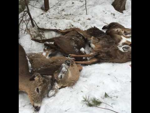 097 Twelve Dead Deer... What Went Wrong? Special Guest Dan Bergeron  NH Deer Project Leader