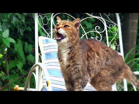 Why Do Cats Miaow? - Cats Uncovered - BBC