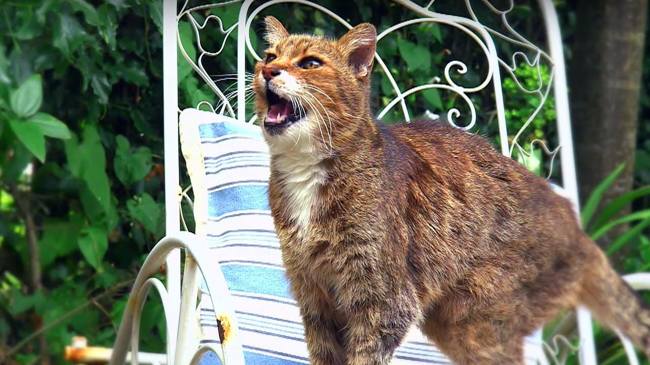 Why do cats miaow