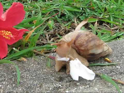 Giant African Land Snail Eating a Flower