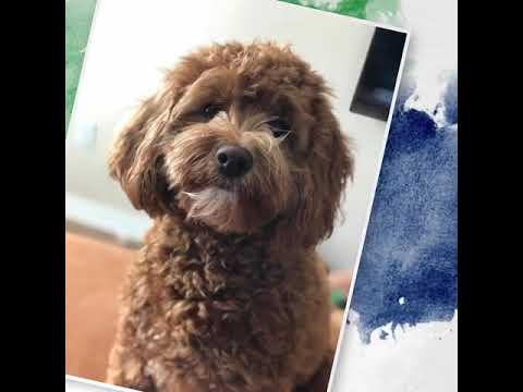 Funny doodle puppies from Crockett Doodles | FunnyDog TV