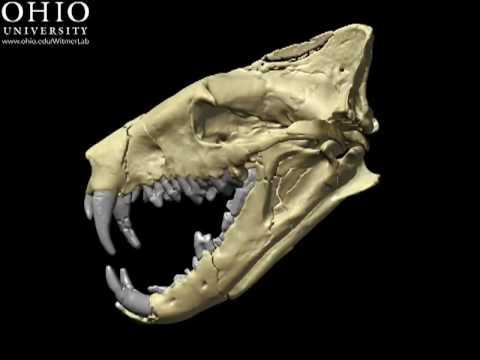 Razor jaws quot skull amp brain cast of the creodont hyaenodon youtube