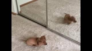 Cheddar meets Cheddar - puppy reflection