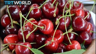 Turkey thriving as world's top cherry producer | Money Talks