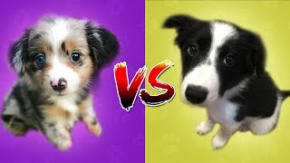 Border Collie VS Australian Shepherd | Top Dog?