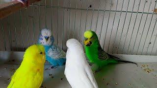 6 Tane Kızgın Erkek Kuşun Arasına 1 Tane Kızgın Dişi Kuş Attık (Çiftleşiyorlardı son anda ayırdık)