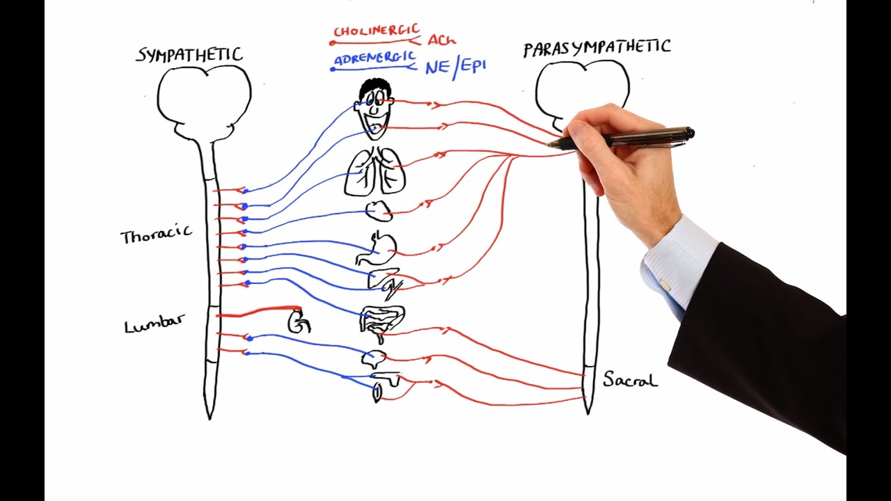 Sympathetic And Parasympathetic Diagram Lutron Grx Tvi Wiring Pharmacology Autonomic Nervous System Made Easy Youtube