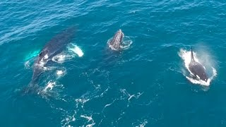 Humpback Whales Trumpet at Killer Whales feeding on a Gray Whale Calf!