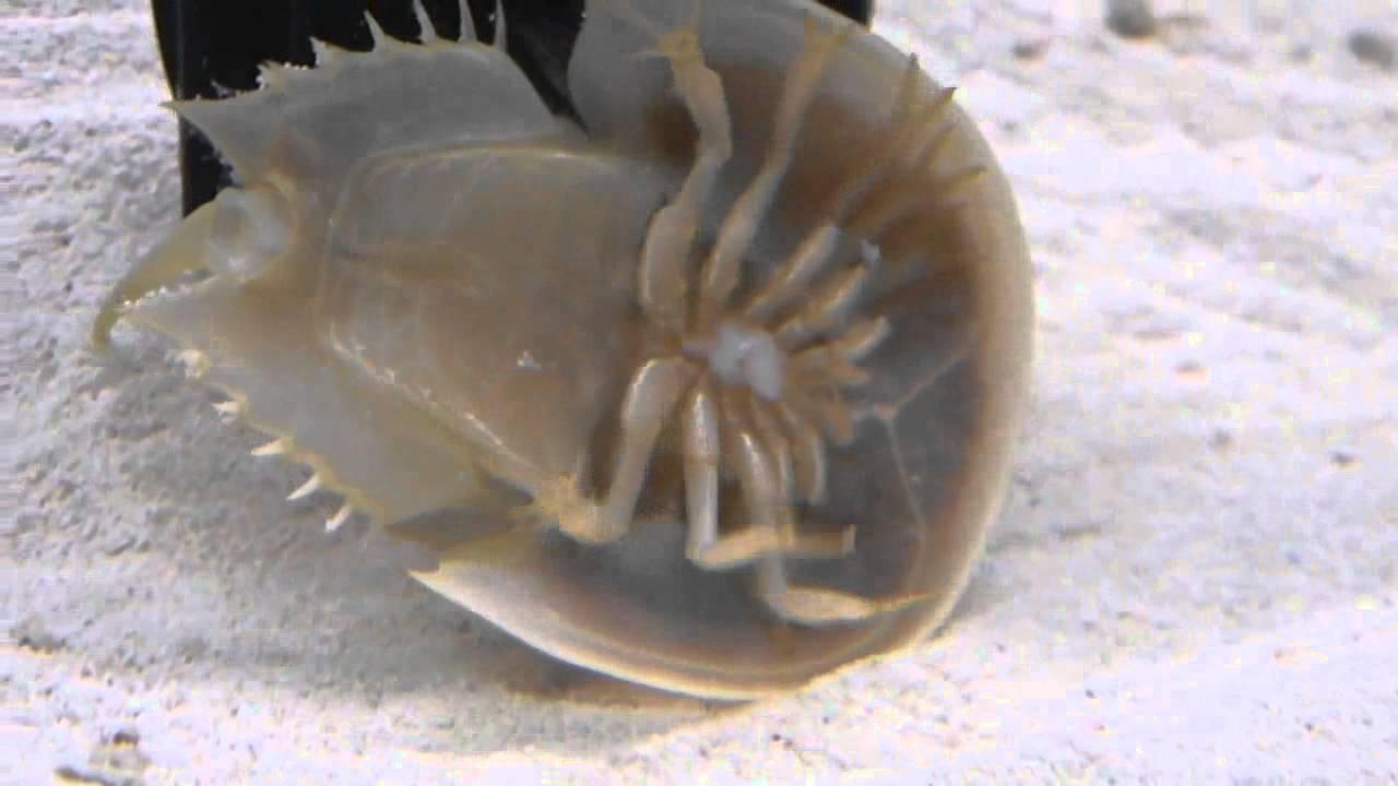 Horseshoe Crab Aquarium Eating And Swimming