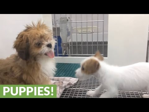 Extremely energetic puppies hilariously chase each other