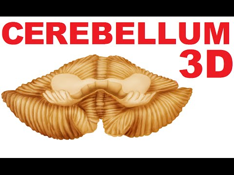 Cerebellum Anatomy - Lobes and Structures - Cerebellum #1 - YouTube