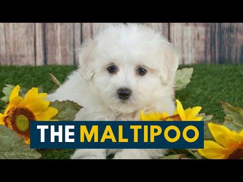 Maltipoo: The Ultimate Companion Dog!