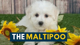 Maltipoo: The Ultimate Companion Dog!