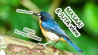 PIKATAN! Suara Burung Sikatan Tledekan Sulingan Gacor Mp3   Cyornis Rufigastra