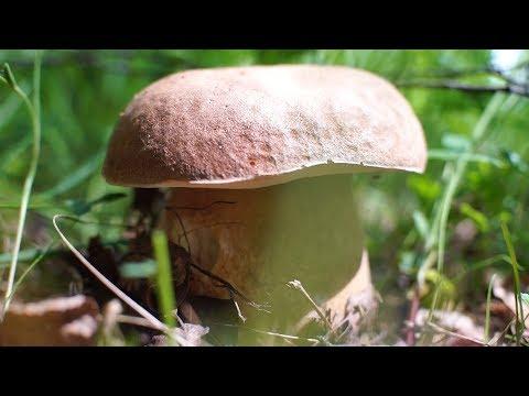 Первые белые грибы, сезон 2018, колосовики пошли весной