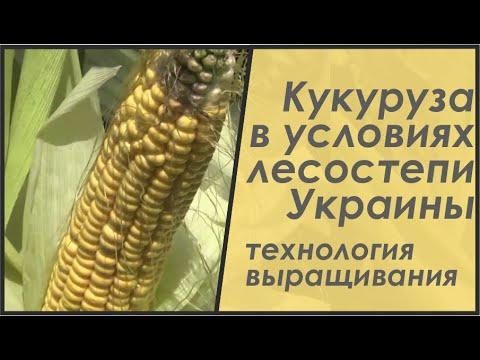 видео: Технология выращивания кукурузы: не так, как книжка пишет, но с результатом 103 ц/га