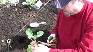Planting Broccoli & Cauliflower in the garden
